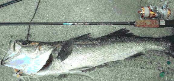 2007/8 シーバス77cm