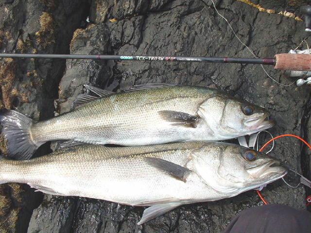2008/3 シーバス67cm,75cm